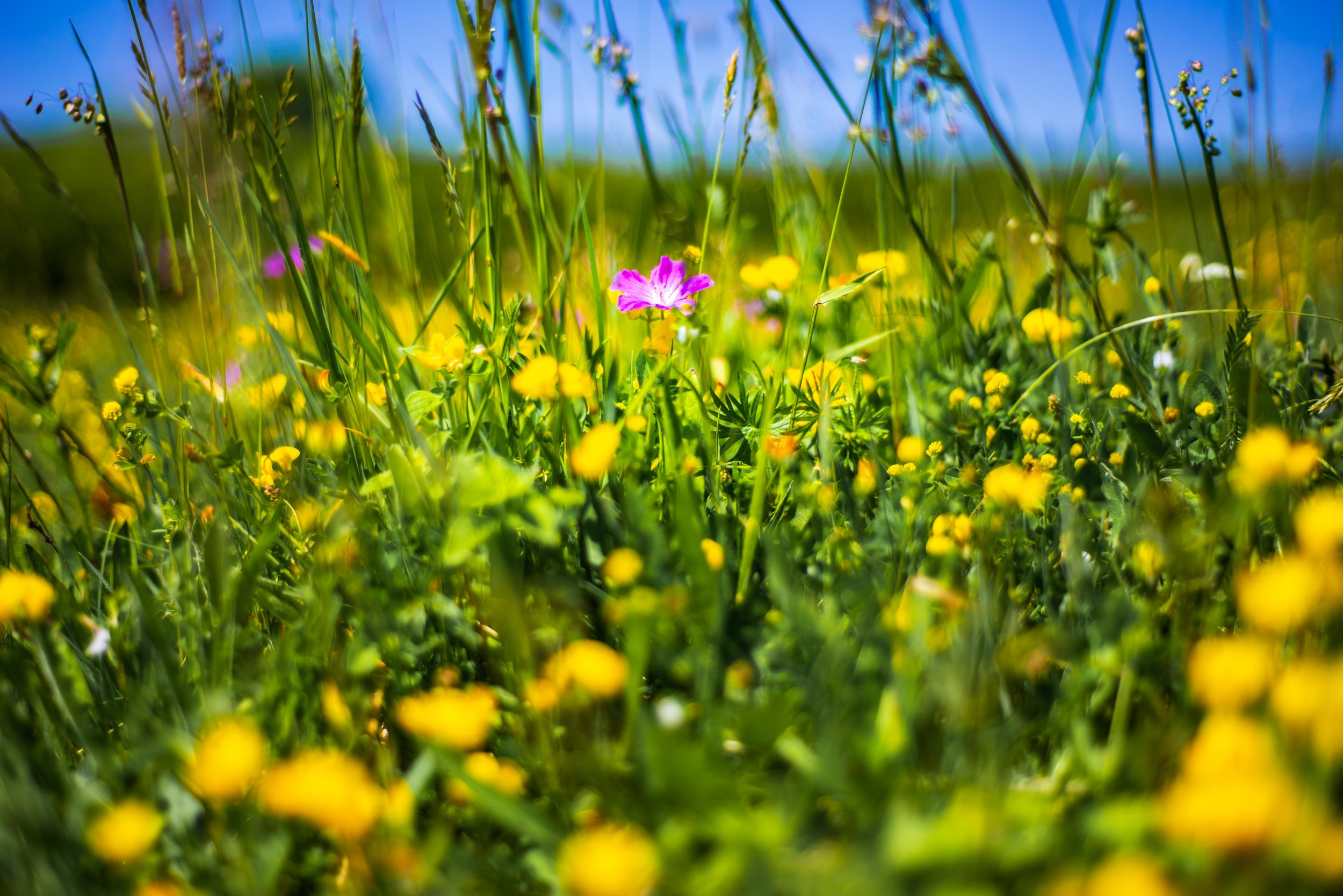 #Spring is the best time to see #wildflowers bloom in Burren National Park, Ireland. Visit in May for a spectacular display of colour and sunshine #ireland #travel #photography #offseason #nature