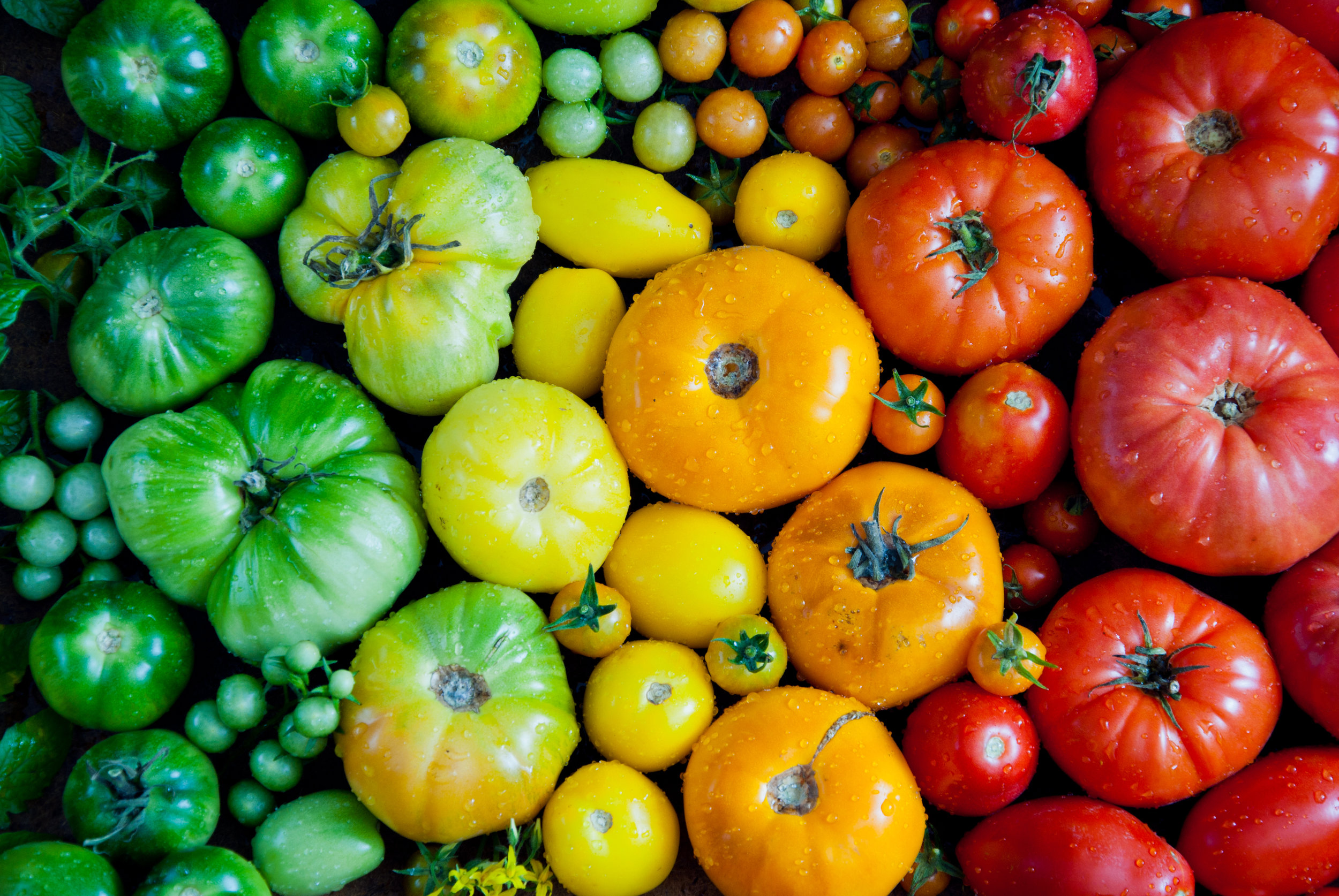 Heirloom tomatoes offer a diversity of flavor and color.