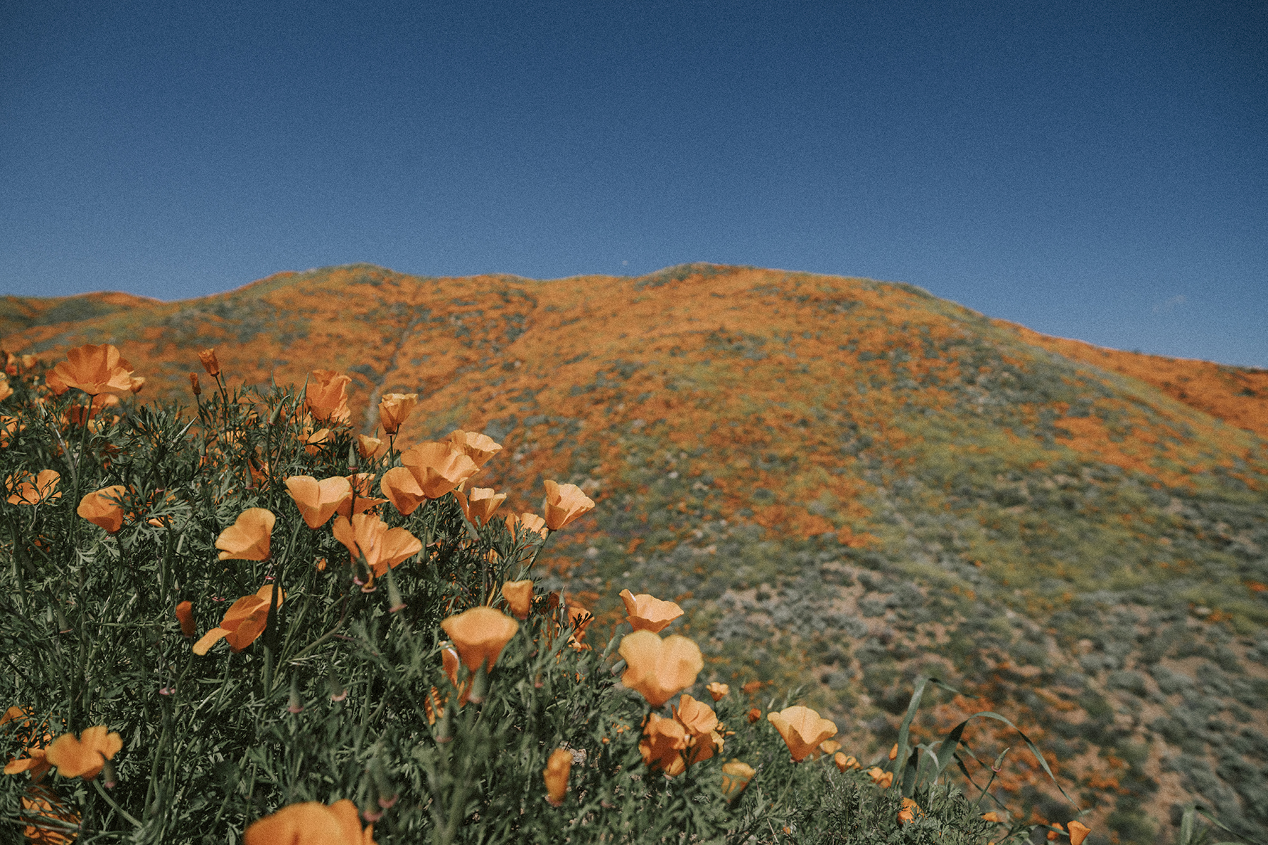 walker Canyon California Poppies