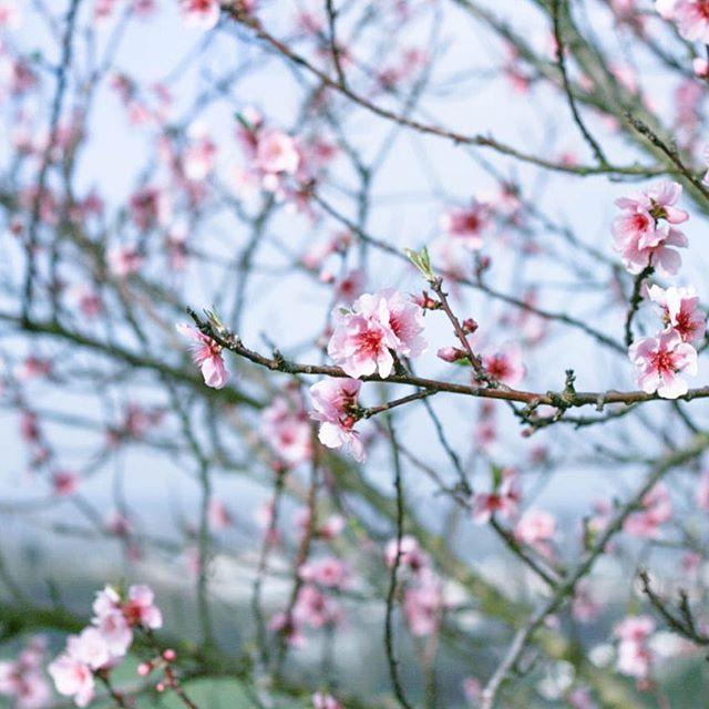 Good Morning spring☀️ Guten Morgen Frühling💛ich wünsche Euch einen tollen Tag🌼 #mandelblüte #bergstraße #frühlinganderbergstrasse