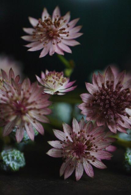 Studiorosenrotes-Blütenfotografie_IMG_4519.jpeg