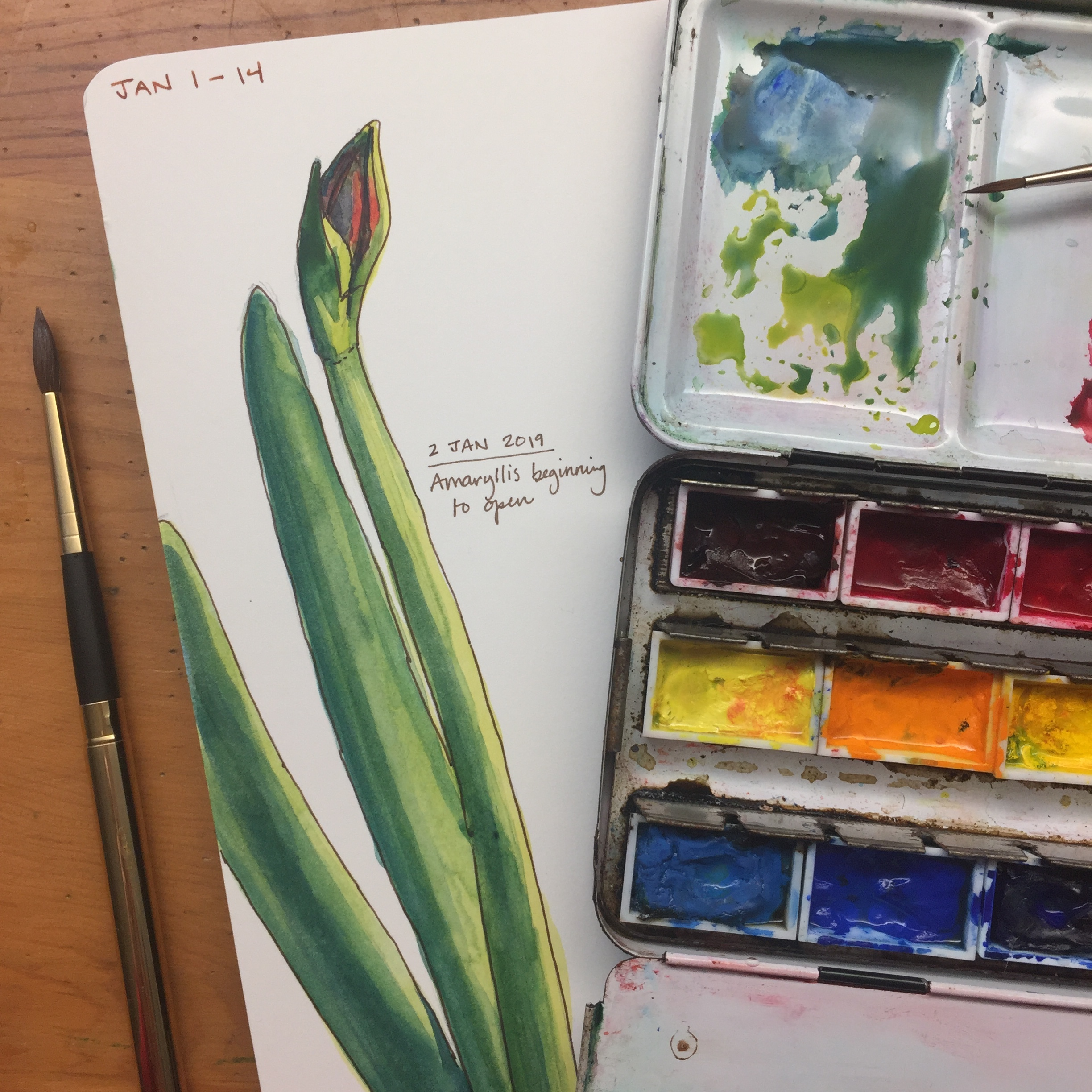 Day 2 (2 Jan 2019): Watercolor sketch of amaryllis beginning to open.