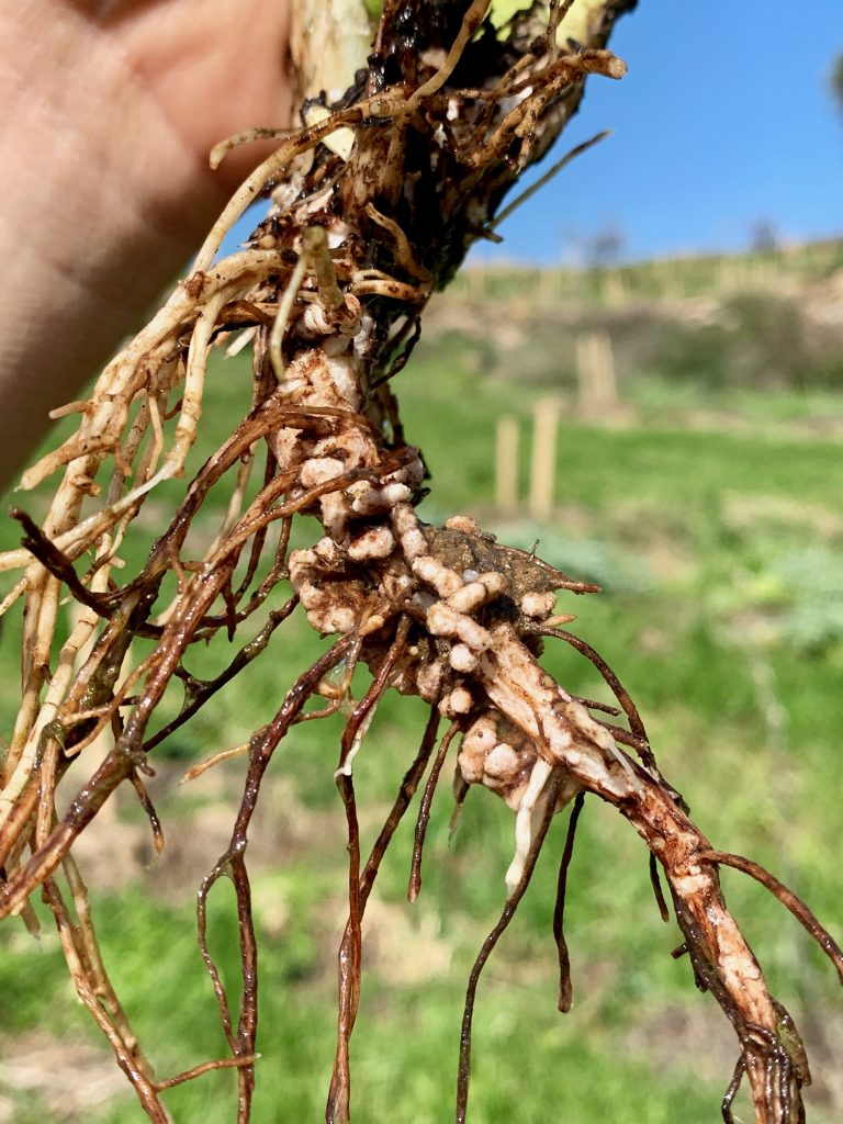 Our cover crops hard at work converting free nitrogen in to a form our plants are able to use. The little nodules you can see on the plant roots are where the magic happens and house the bacteria responsible for nitrogen fixation.