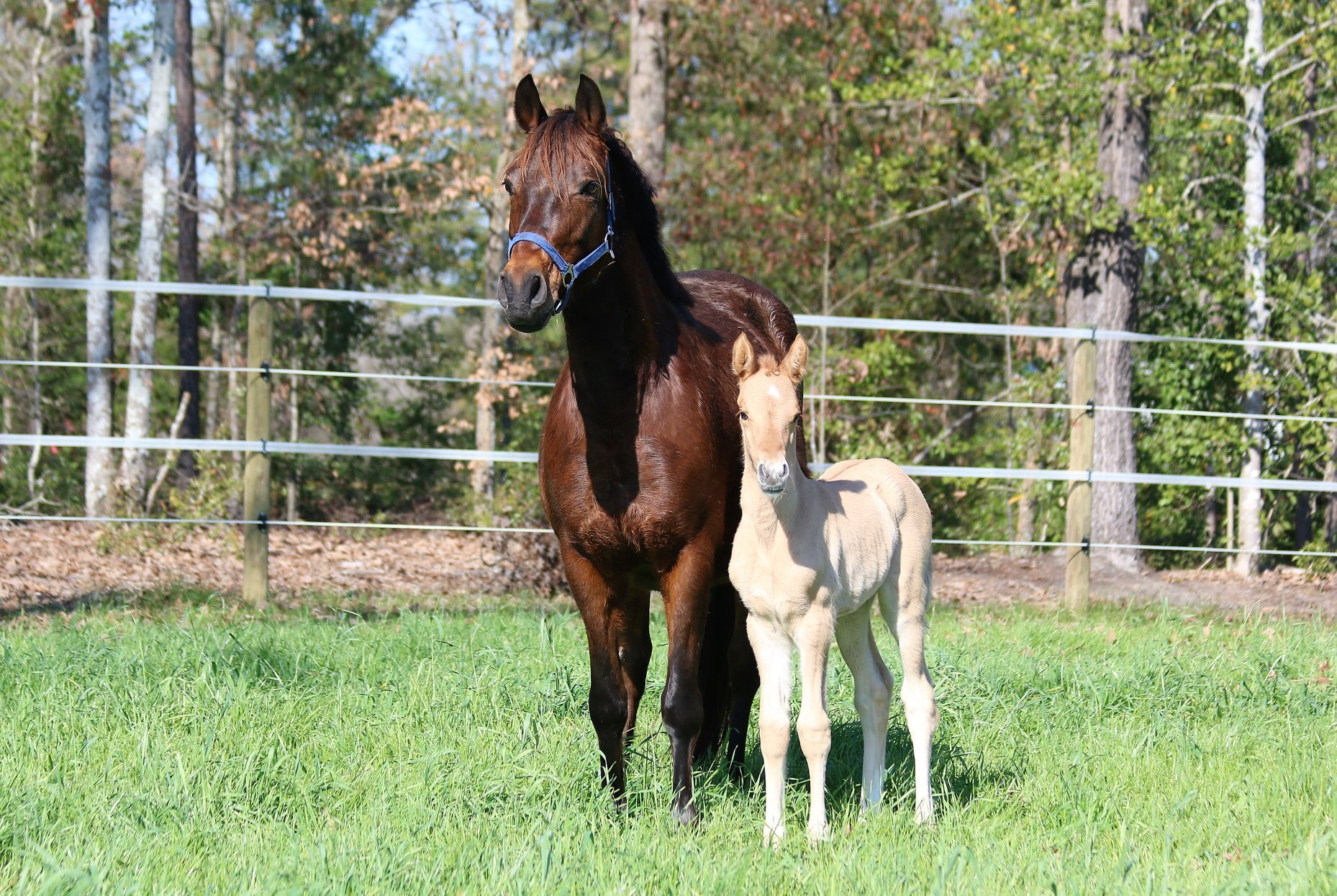 Breeding & Foal Salesamerican Meadow