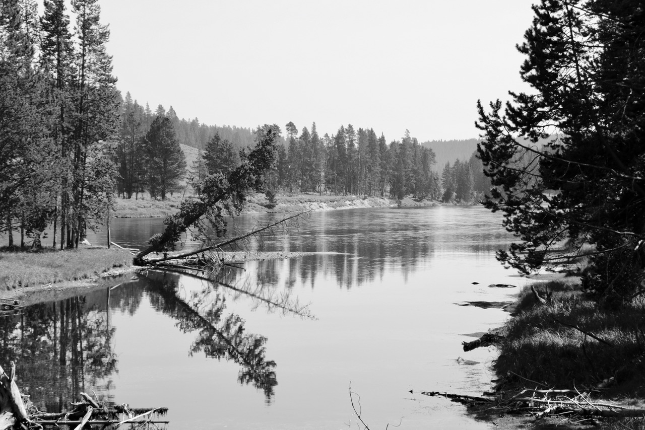 Falling Tree on Yellowstone River - Yellowstone