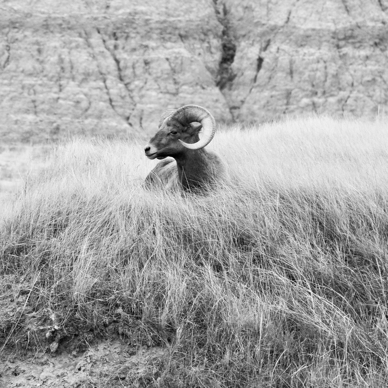 Big Horn in the Afternoon - Badlands