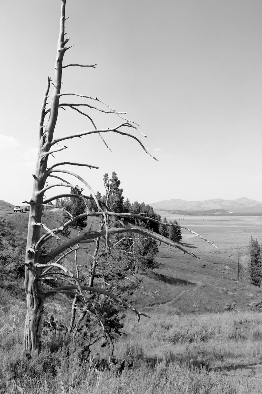 Standing Guard - Yellowstone