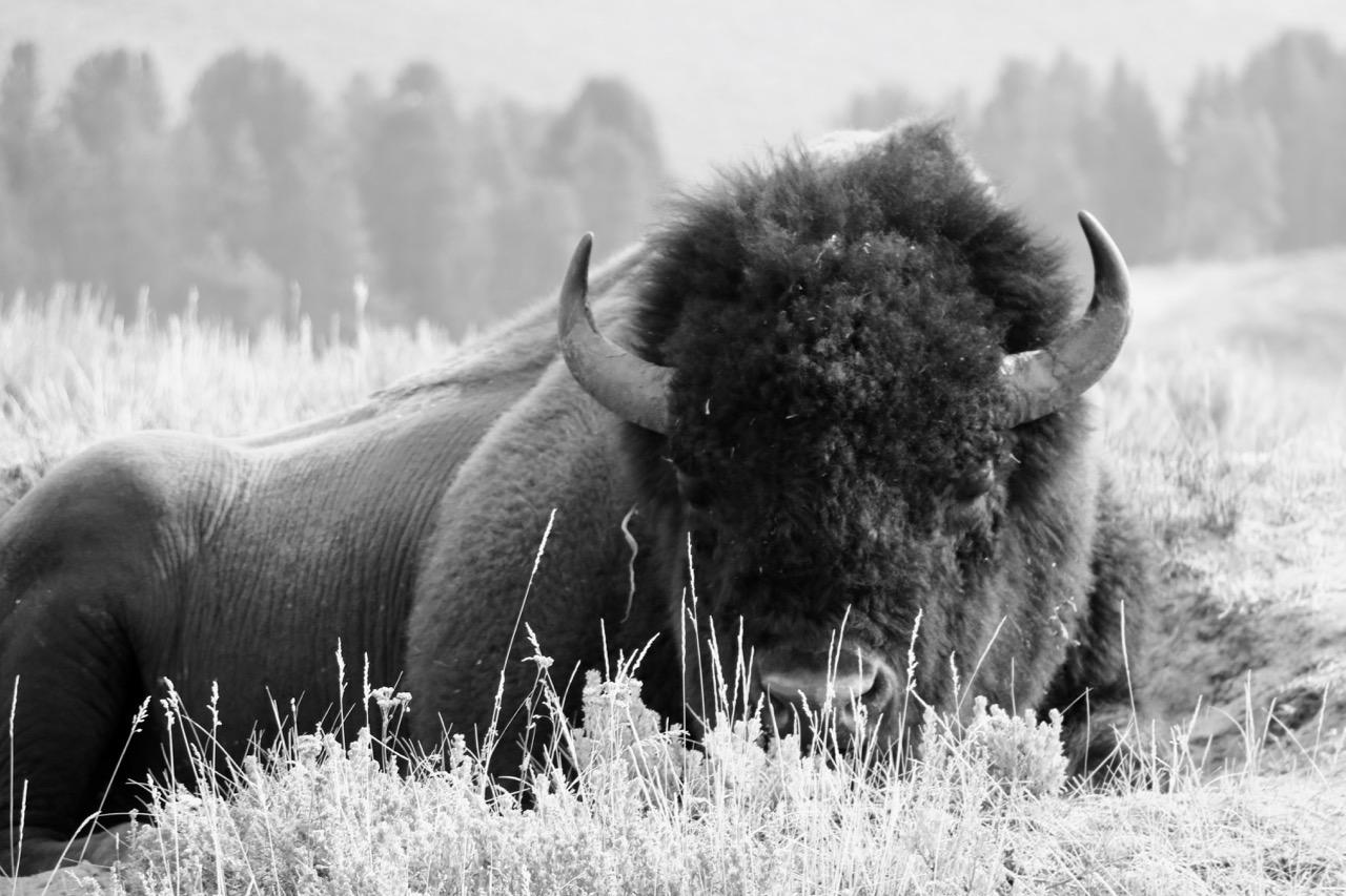 Bison Sleeping - Yellowstone