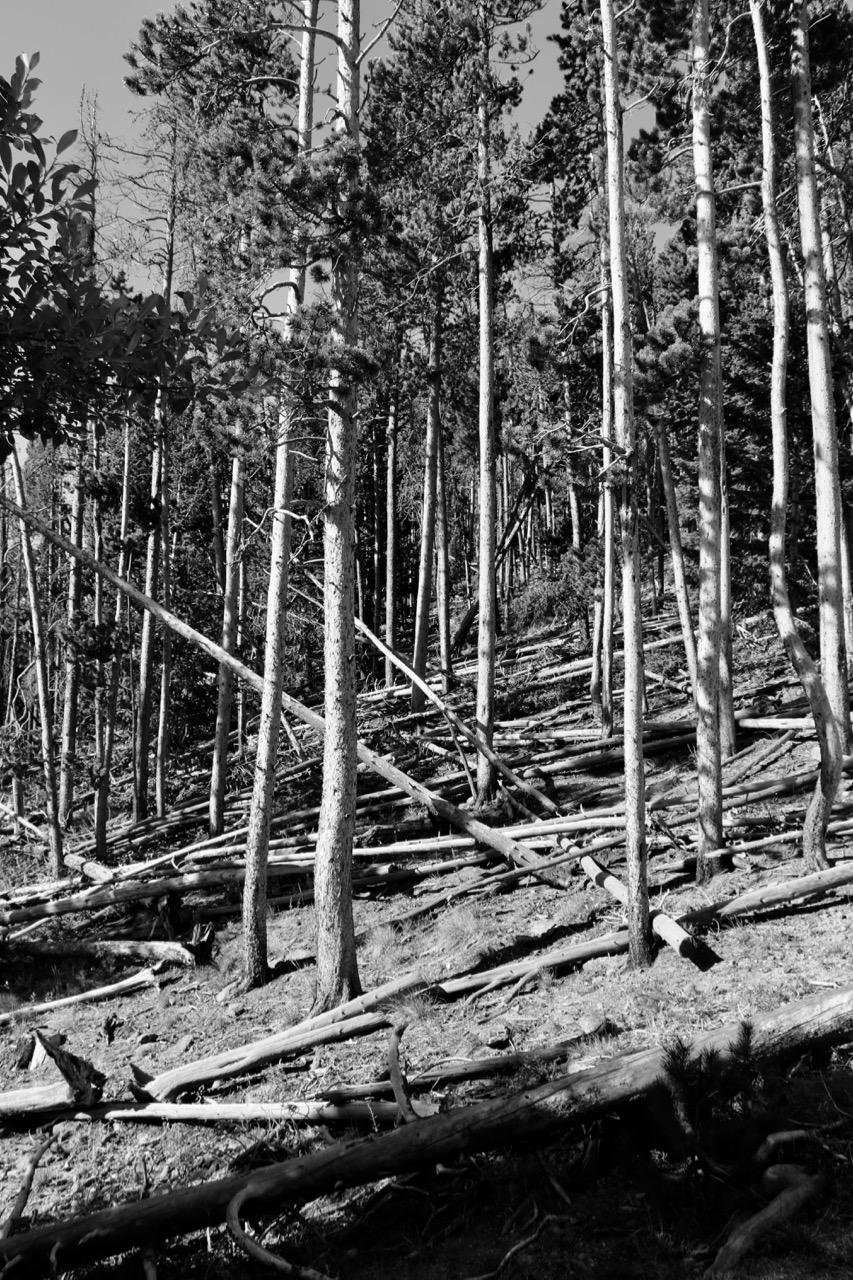 Lodge Pole and Beetle Kill - Rocky Mountain