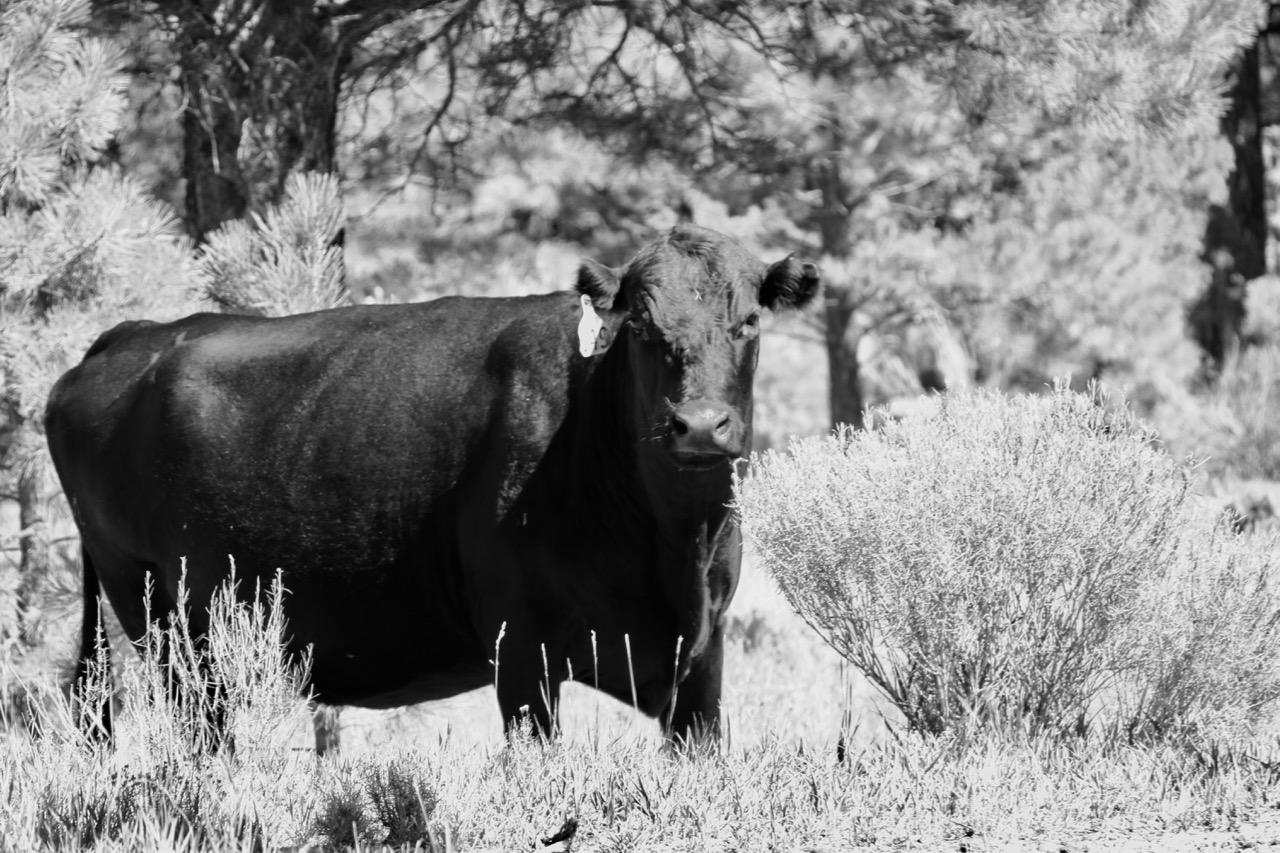 Curious Cow - Dixie National Forest