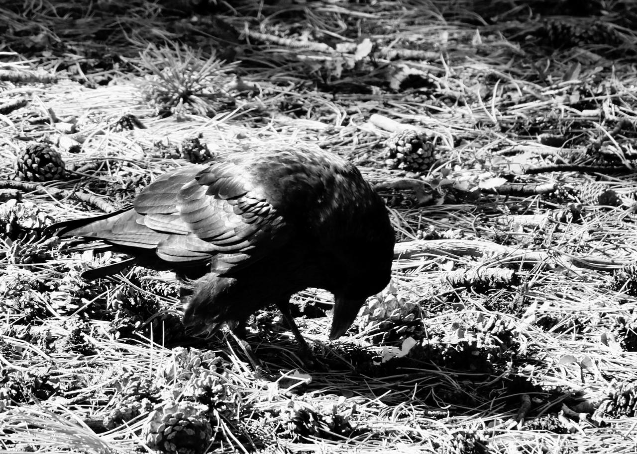 Bowing Raven - Bryce Canyon