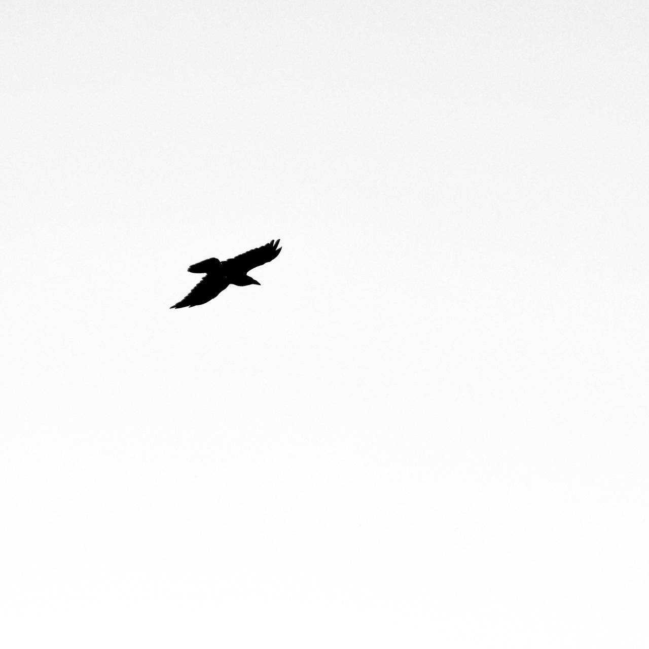 Raven Soaring - Black Canyon