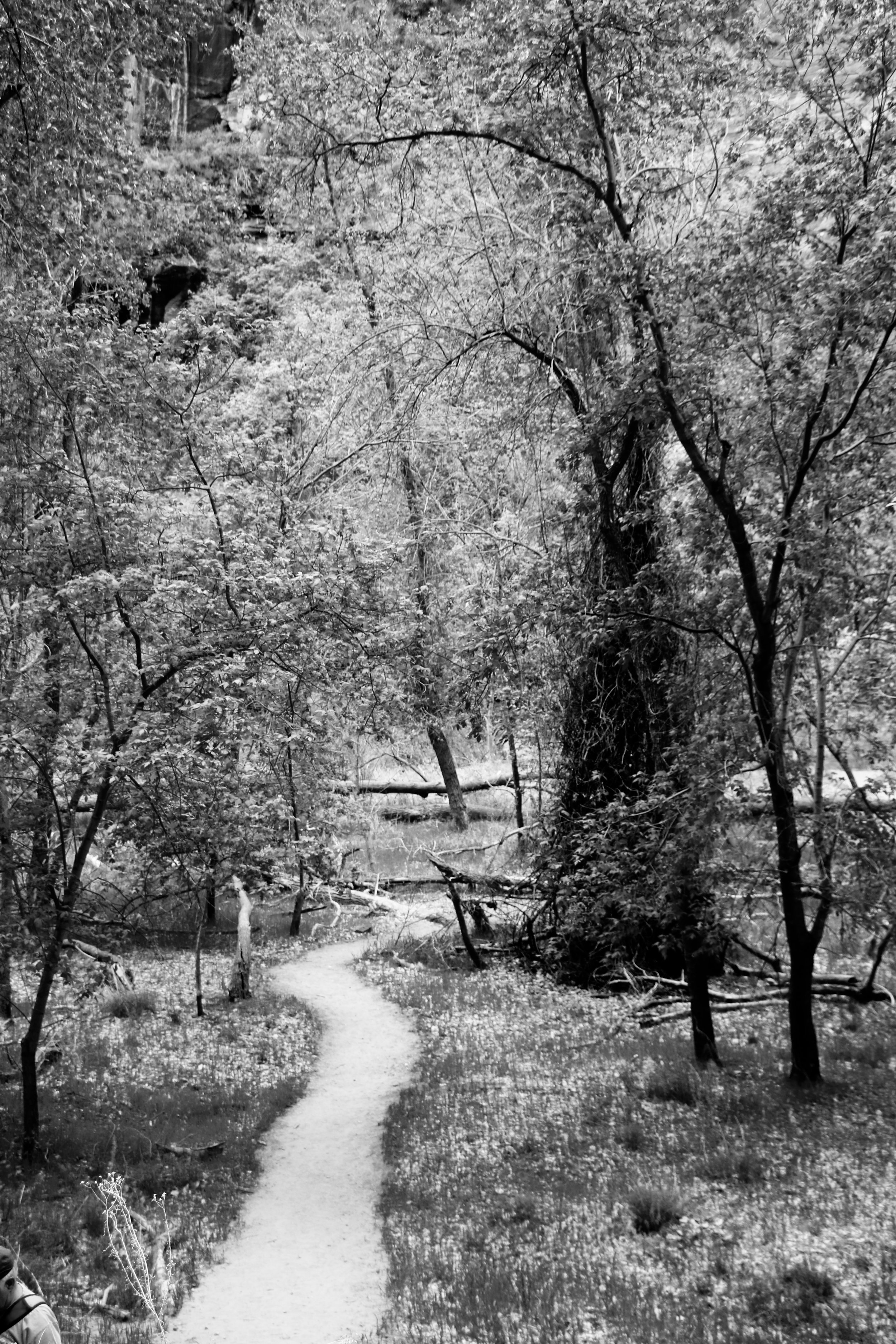 Path in the Cottonwoods - Zion