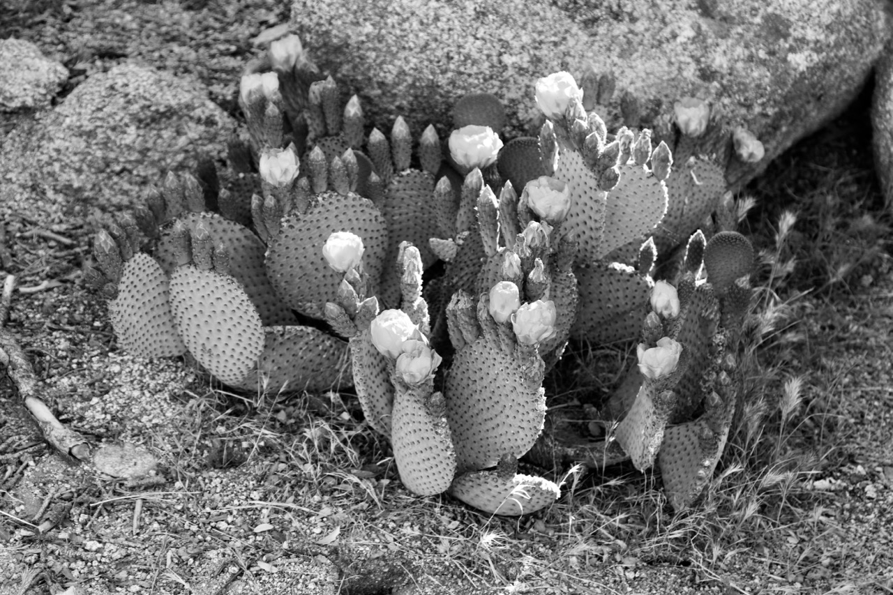 Prickly Pear in Bloom - Joshua Tree National Park