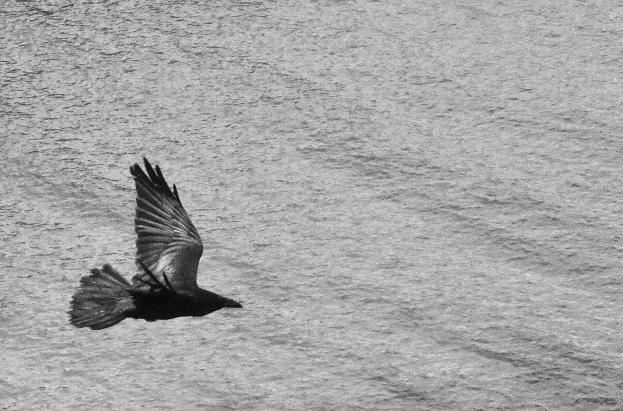 Contrasting textures - Raven and Water - Santa Cruz Island, Channel Islands National Park