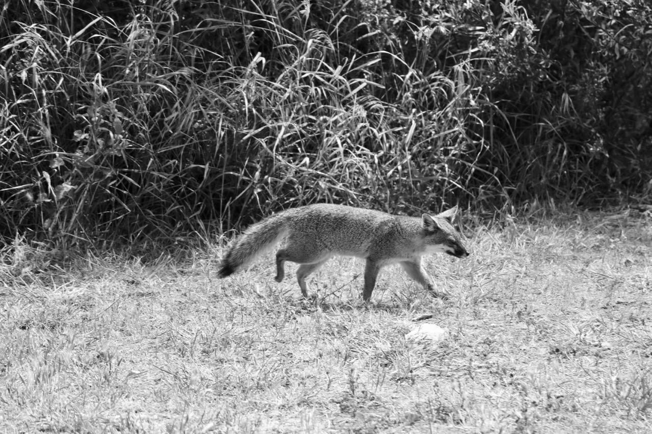 Island Fox, Santa Cruz Island - Channel Islands National Park