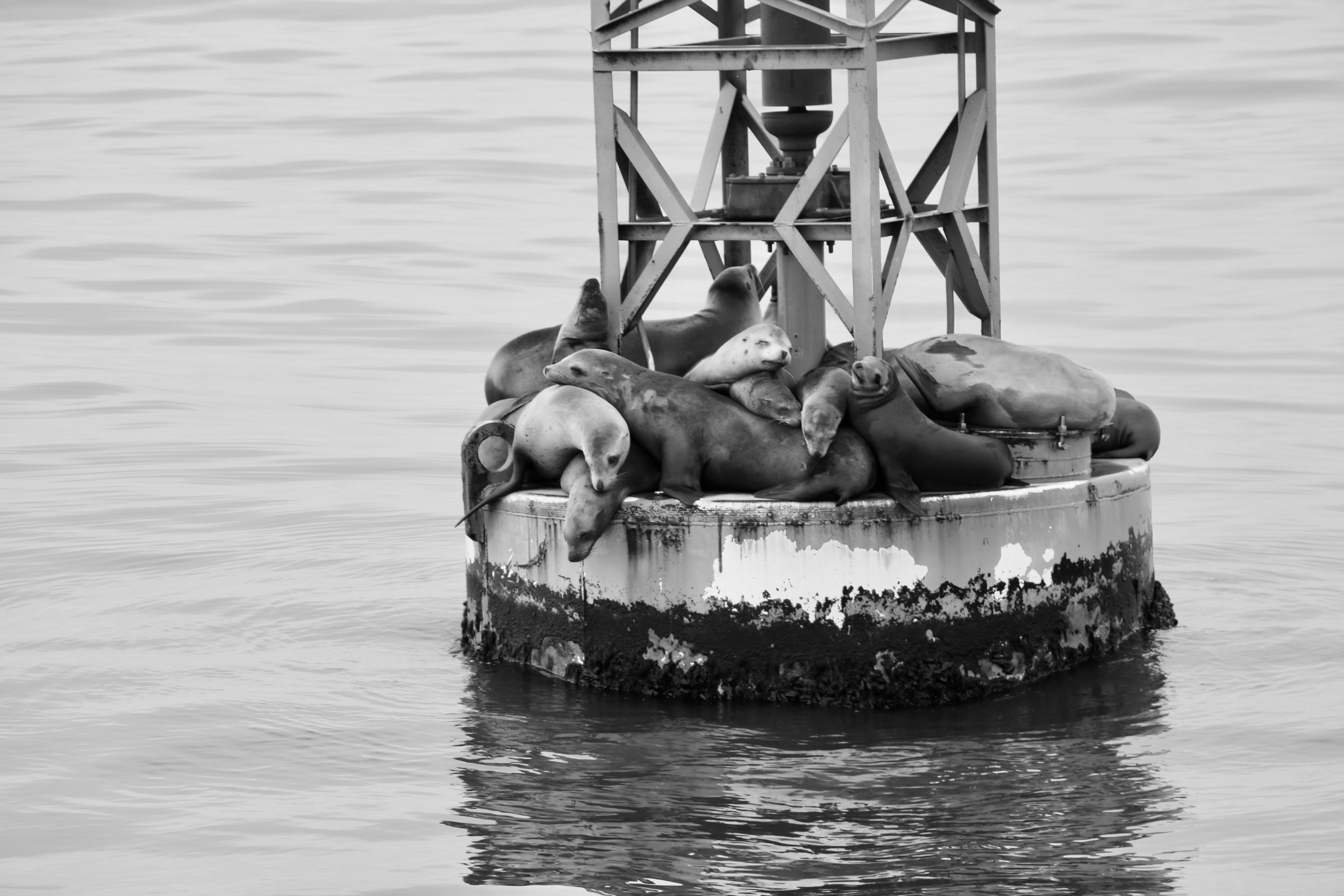 Sunbathing - Anacapa Island, Channel Islands