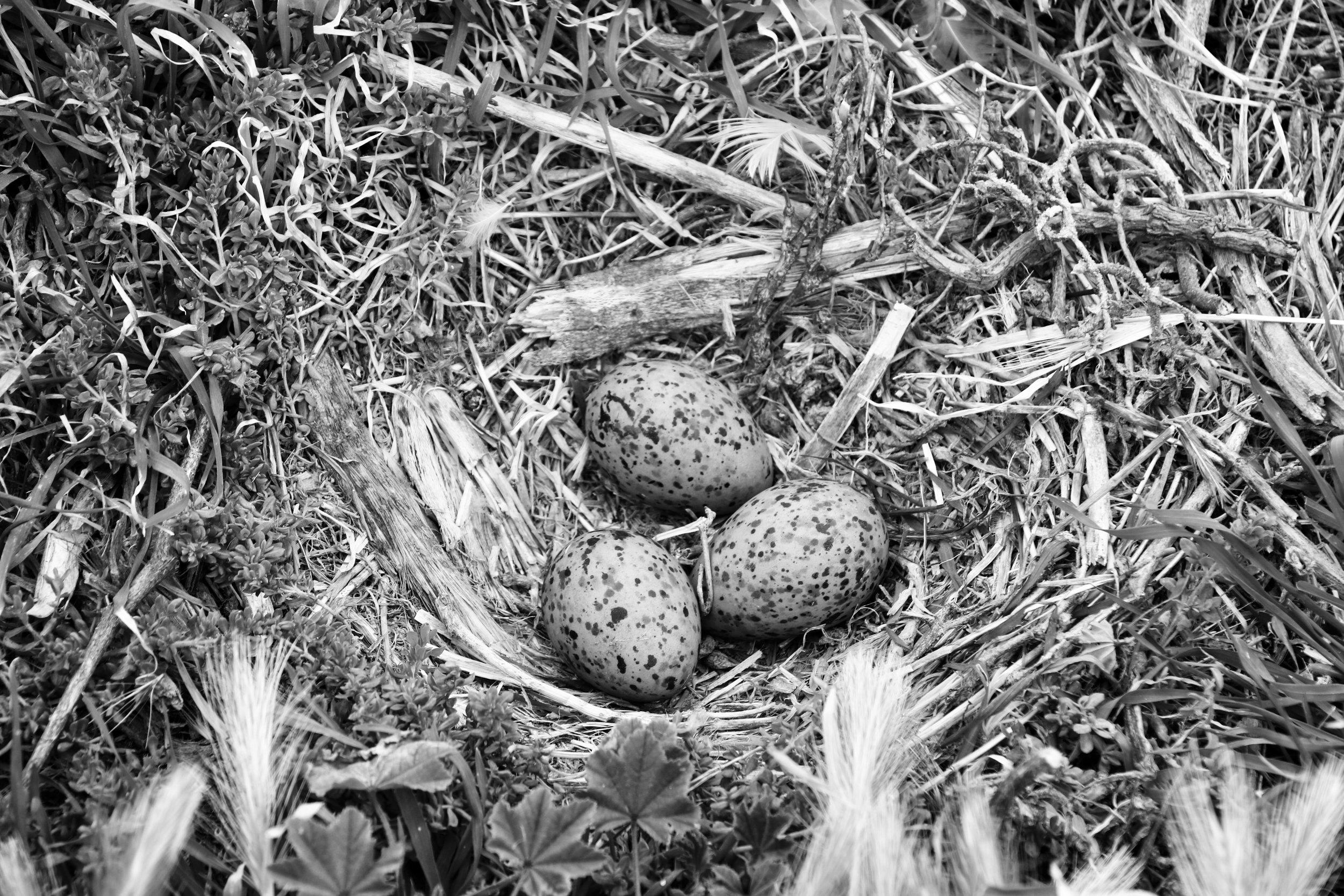 Triplets, Seagull Rookery - Anacapa Island, Channel Islands