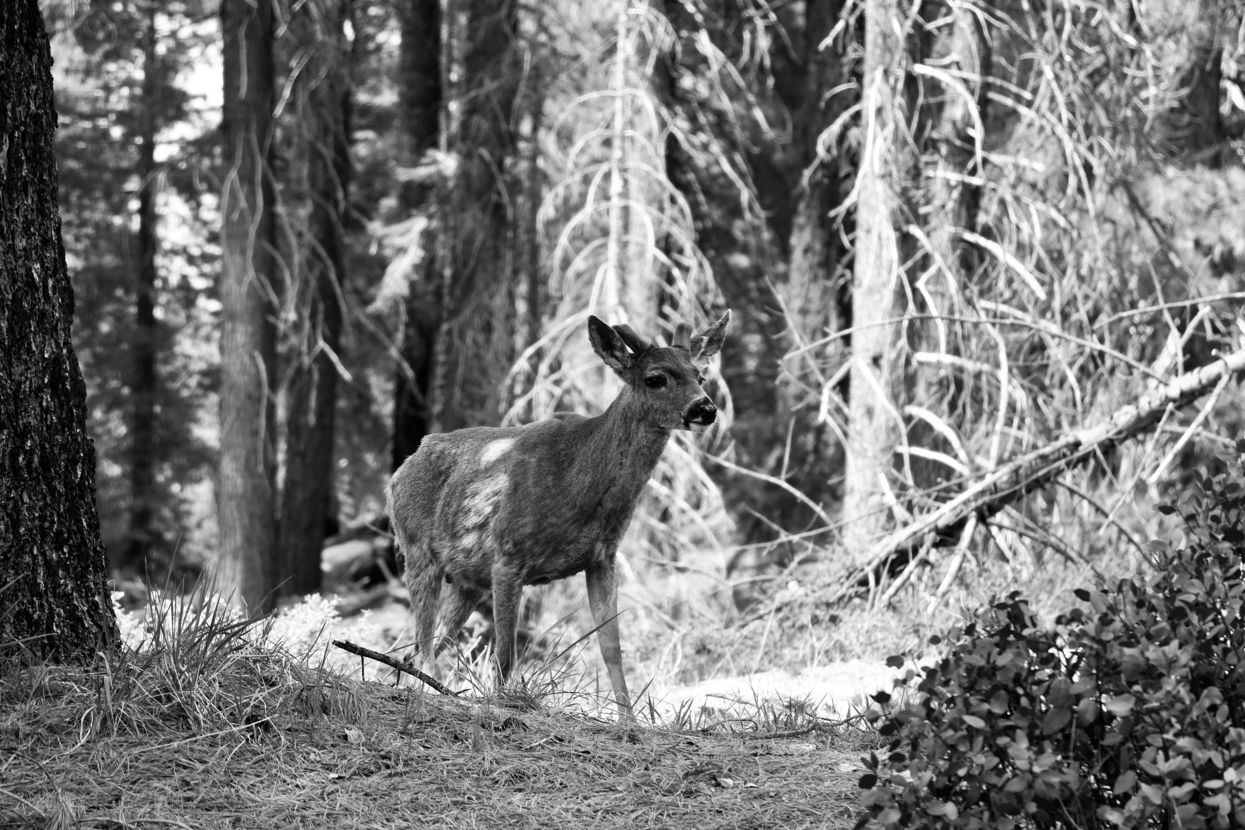 Morning Stroll - Sequoia