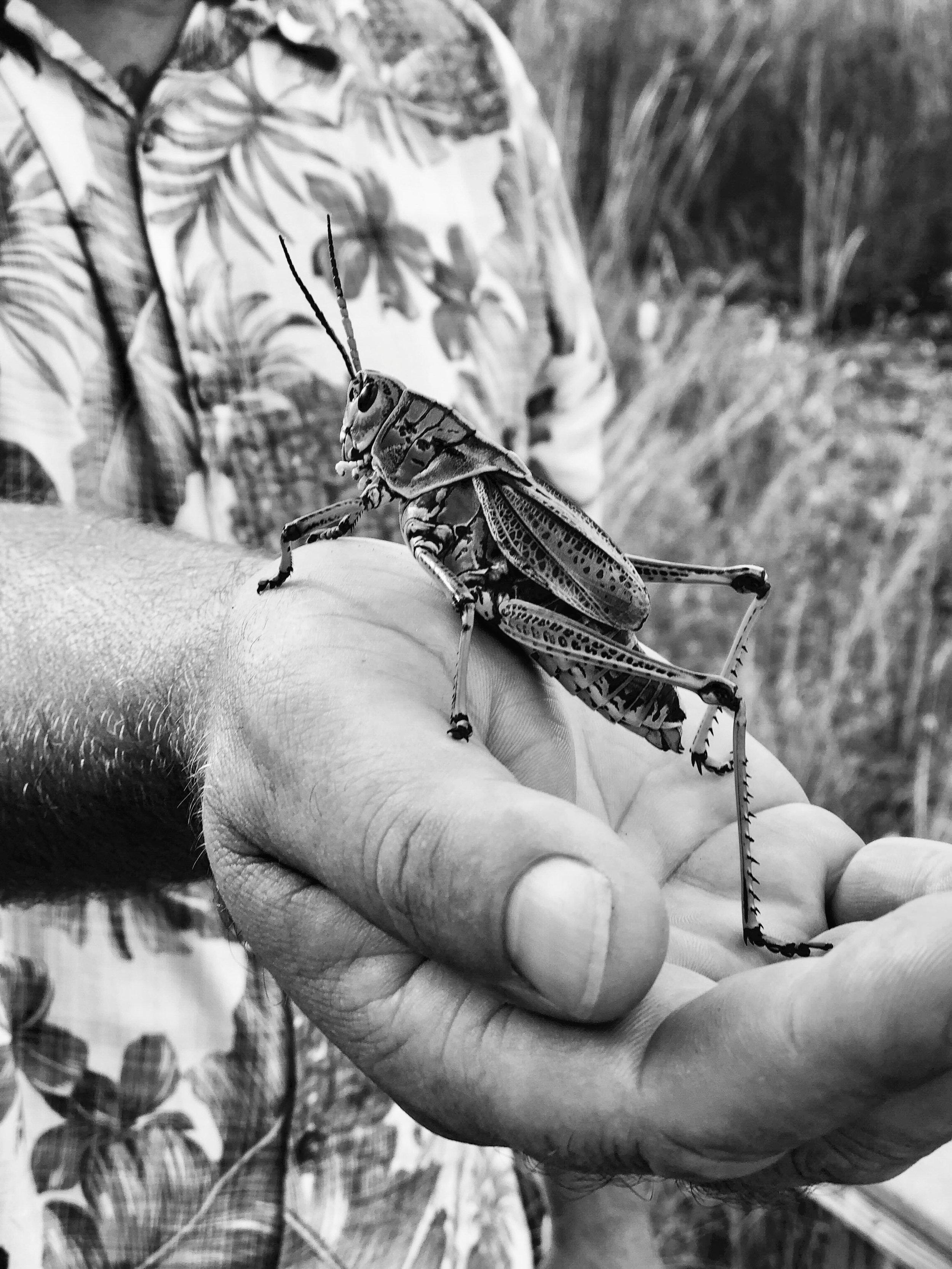 Grasshopper, Everglades