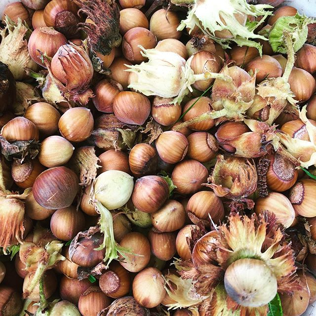 Spent a few hours gathering buckets of hazelnuts on Samish Island today thanks to a friendly neighbor.  After a rest, a good cracking, roasting and lengthy bourbon swim, the Hazelnut Fig Old fashioned will make its debut for grand opening @terramarbrewstillery at the end of October.  #craftcocktail #locallyforaged #bartender #oldfashioned #cocktailsontap #samishisland #edisonwashington #terrormar