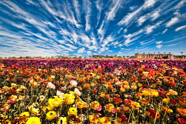 the-flower-fields-vin-weathermon.jpg