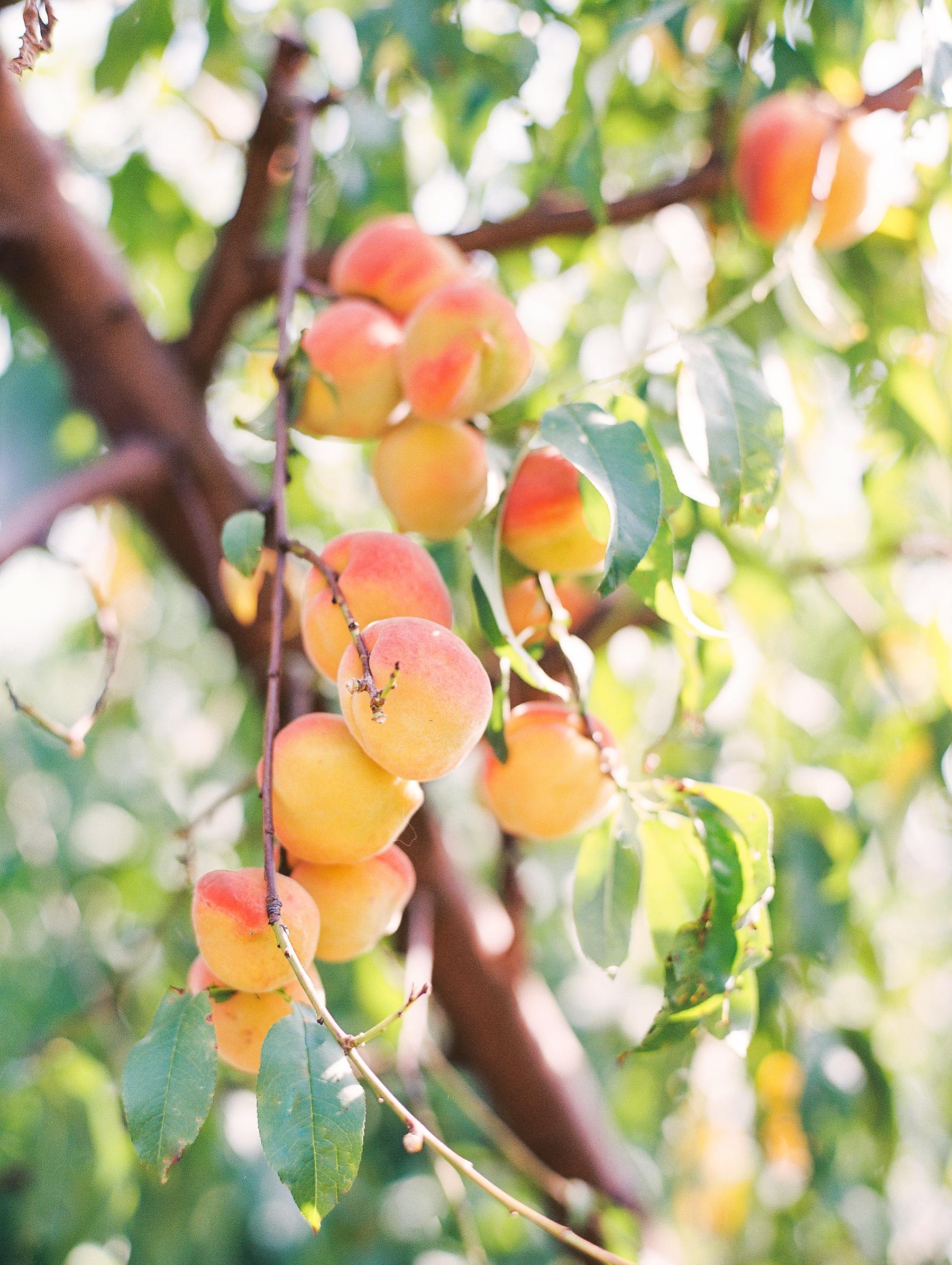 Peach-Orchard-Engagement-Session-Arkansas_0004.jpg