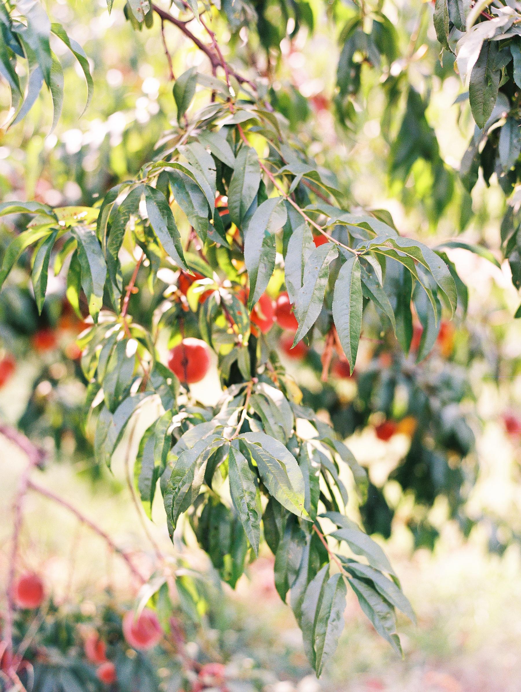 Peach-Orchard-Engagement-Session-Arkansas_0007.jpg