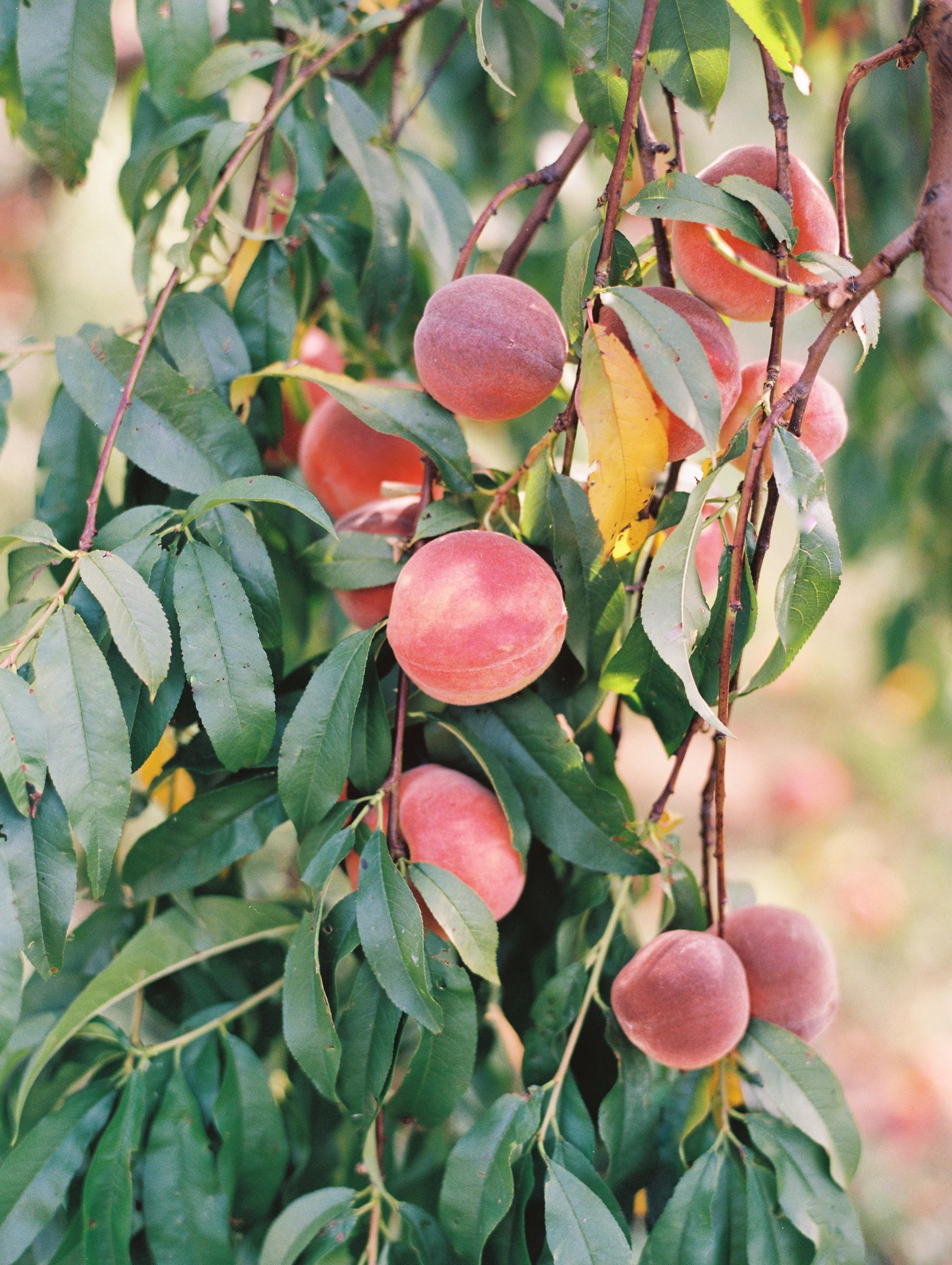 Peach-Orchard-Engagement-Session-Arkansas_0015.jpg