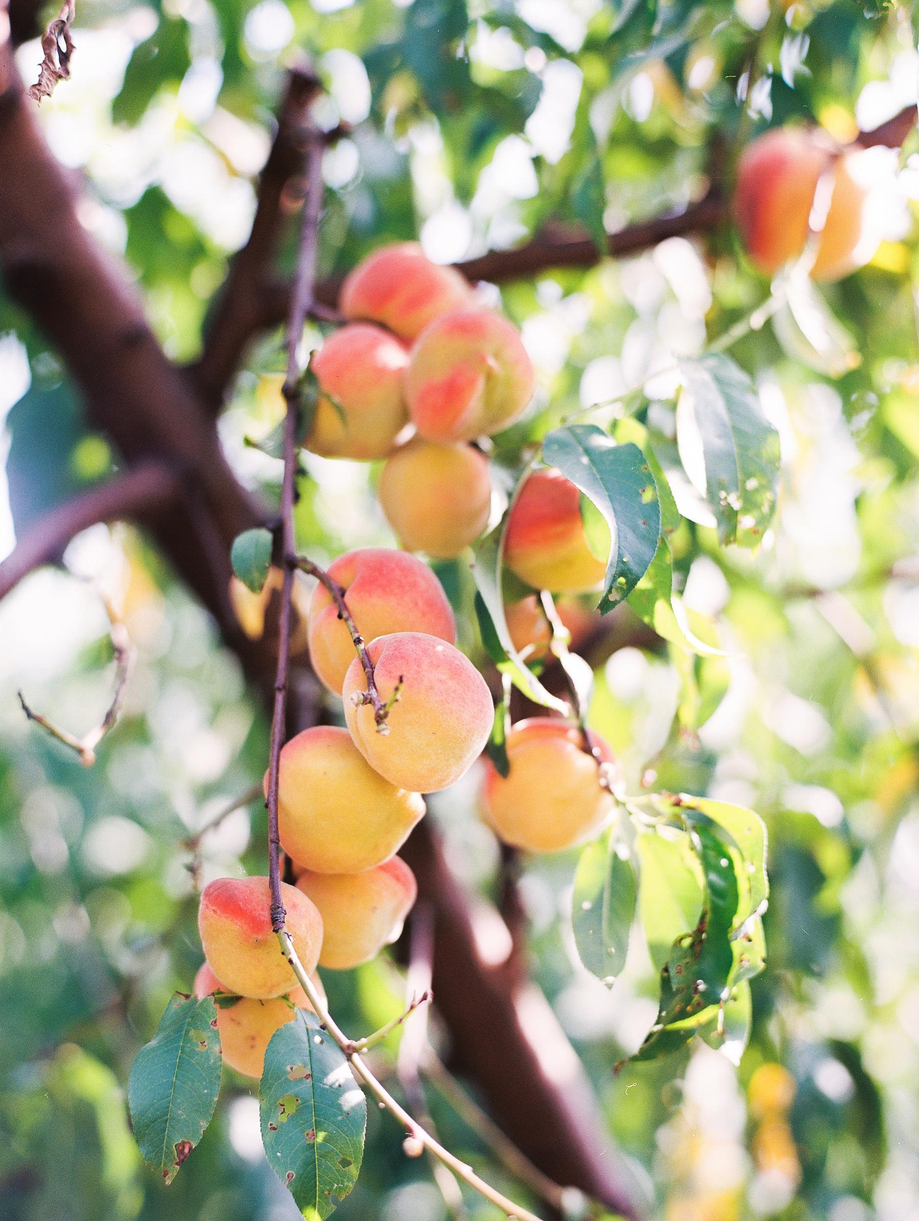 Peach-Orchard-Engagement-Session-Arkansas_0021.jpg