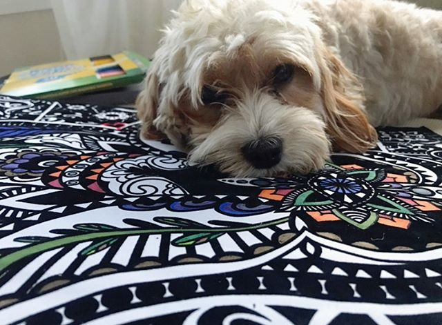 This little sweetie is helping mommy relax and color. 💕 coloring is such an amazing way to get into your parasympathetic self. This is activating the part of the brain that is tailored towards peace, quiet, and calm. 🐶 What do you do to get into your zen?? 💆🏼‍♀️ #cavapoo #zen #mindfulness #relax #hope #youvegotthis #risesisterrise #cavapoopuppy #shevathecavapoo #cavapoosofinstagram #grandrapidsnaturopath #grandrapids #drnicolecain