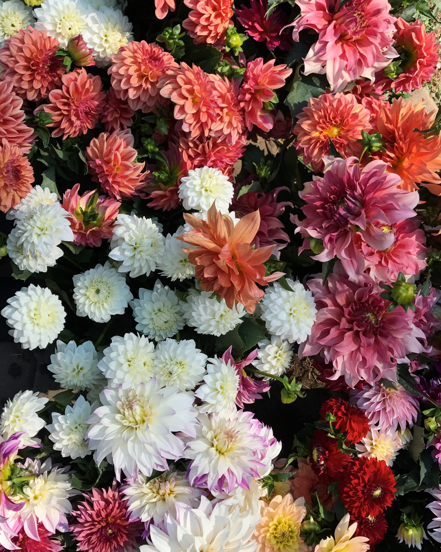 Dahlia's in the Burst + Bloom cooler. Image credit: Burst + Bloom.
