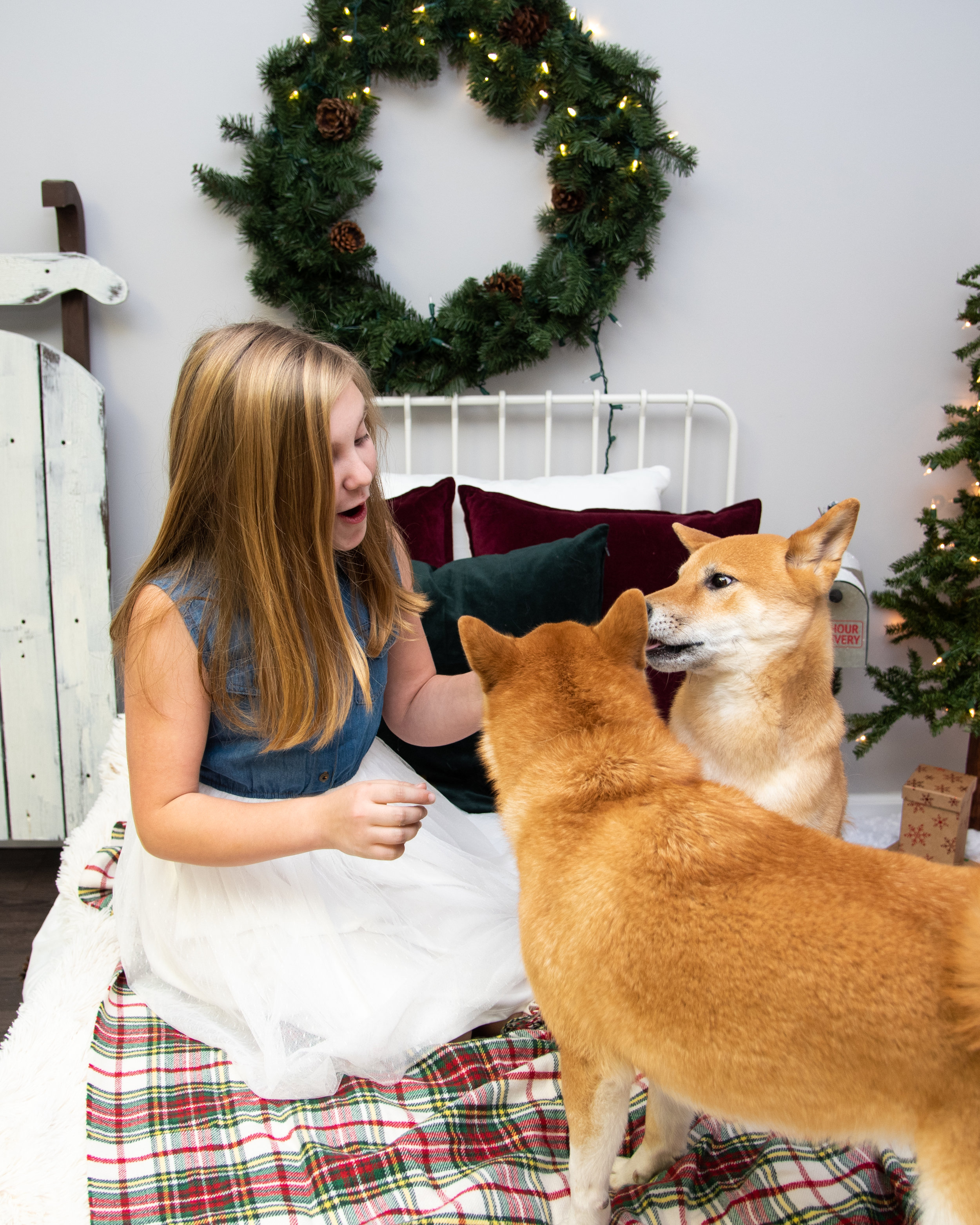 Christmas Minis with Kyla Jo Photography Muncie Indiana Photo Studio shiba inu dogs
