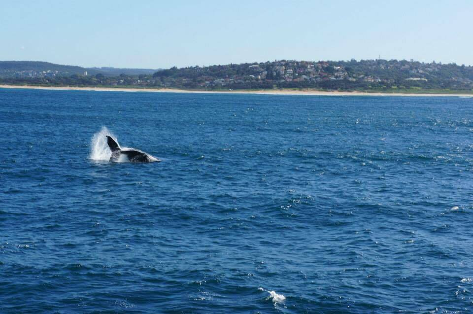 Whale watching in Sydney Harbour