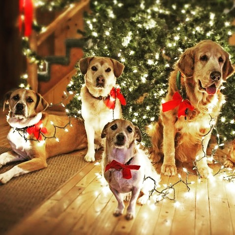 Trying to light up your dog? We have a better way. 🔦spotlitepets.com. · · #ledleash #nightwalk #christmaslights #christmaspups #tistheseason #dogstocking #tinsel #lightstring #winter #festivaloflights #lightshow #beseen #flashlight #beseen #spotlitepets #doglove