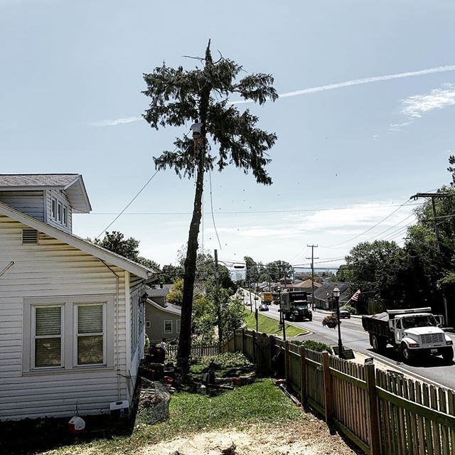 Tree Removal right in 260 heading into North Beach. MD Licensed Tree Expert # 2149.