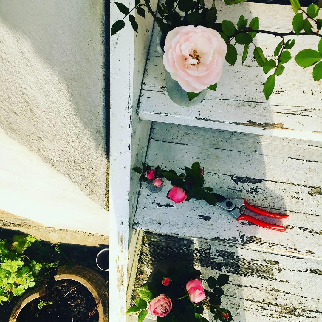 Mig, der plukker de sidste roser på vores rosenbusk, en dag i november.