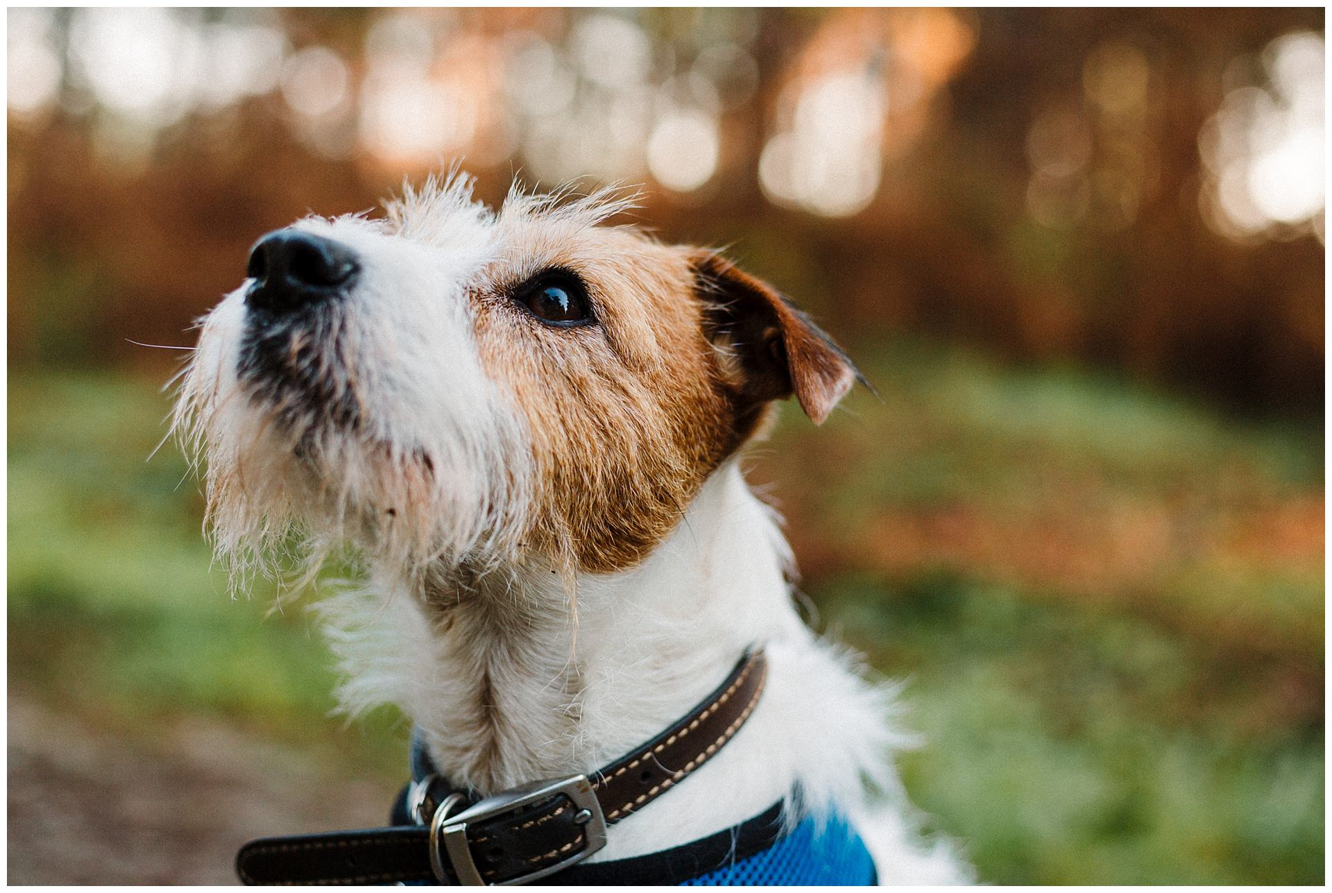 A Parson Russell Terrier in the woods looking up