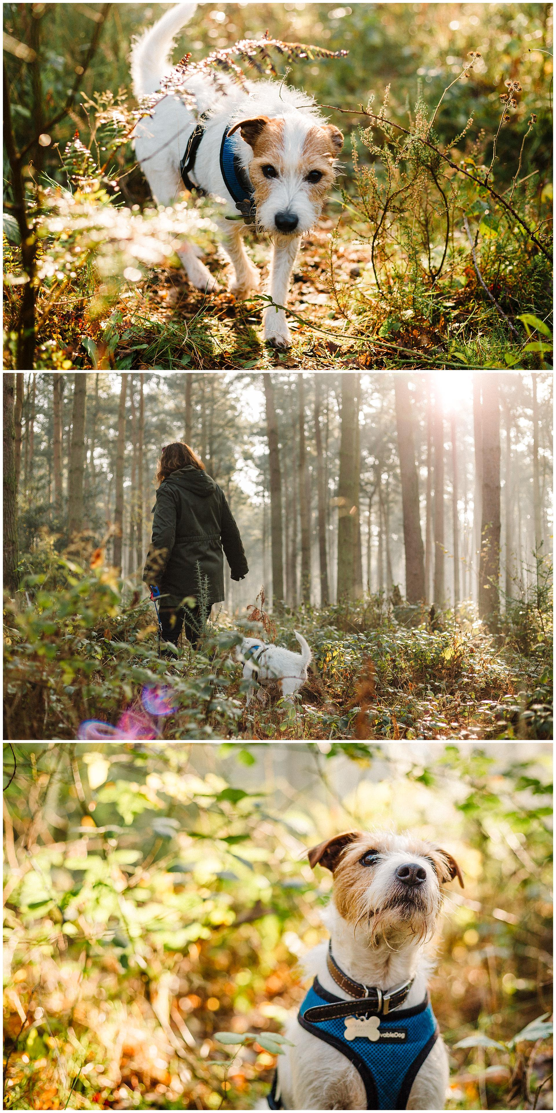 Three images of a Parson Russell Terrier walking in the woods