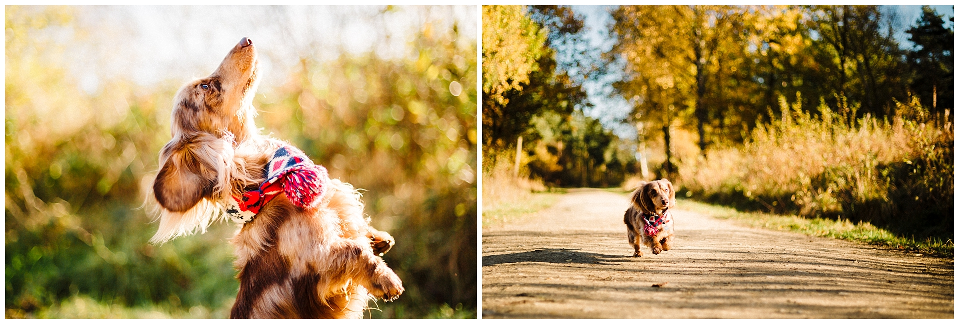 portraits of a long haired daschund standing on its back legs and running down a path