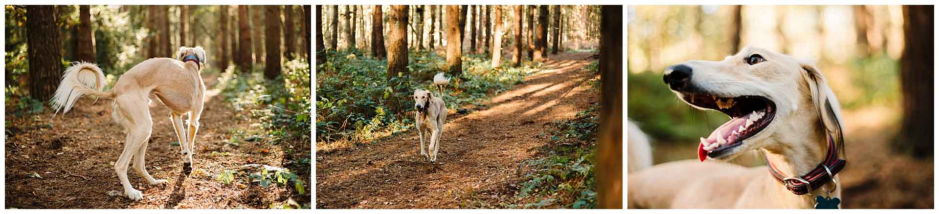 a saluki dog running through the woods in yorkshire