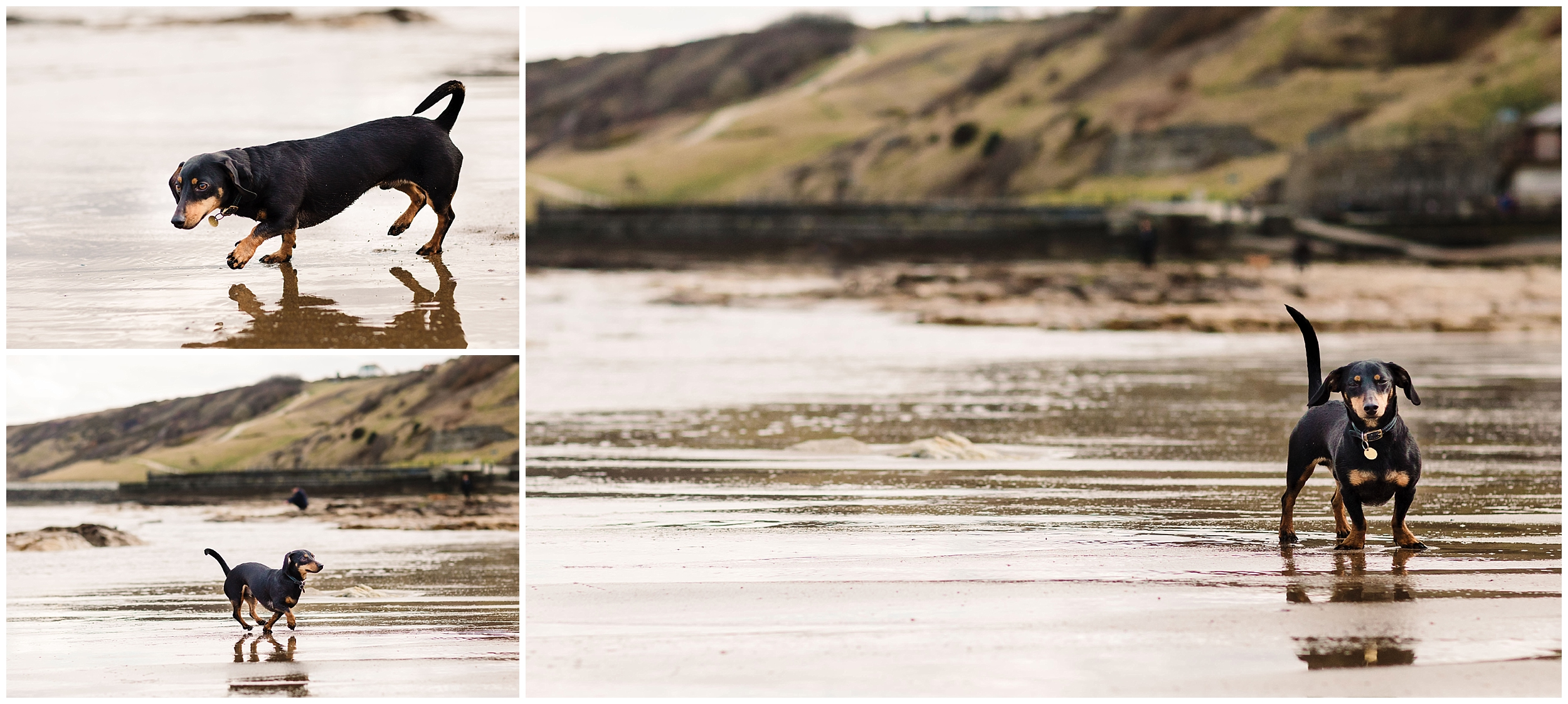 A dog playing on Scarborough beach