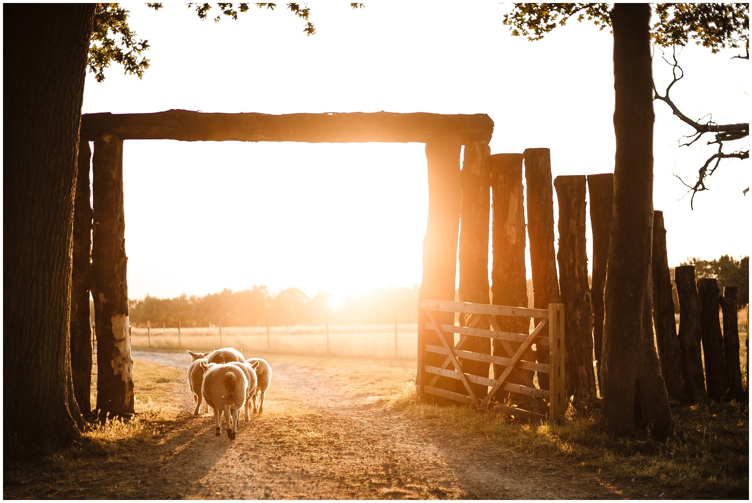 sheep walking through a wedding meadow in yorkshire at sunset
