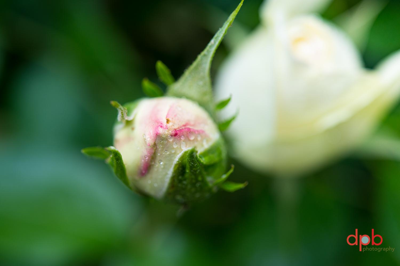 5.2.19 rose 5.jpg