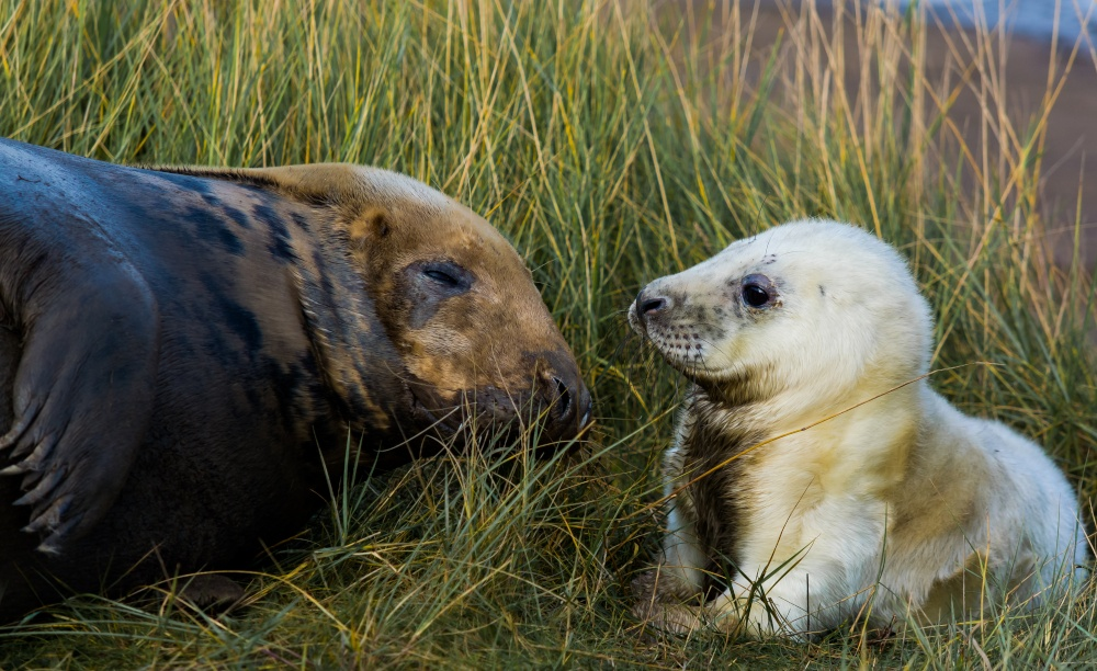 Seal at Donna Nook (Photo: Gill Kennett)