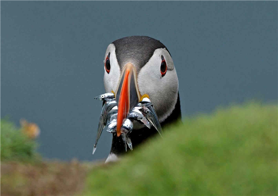 Puffin at South Stack (Photo: thebiggesttwitch)