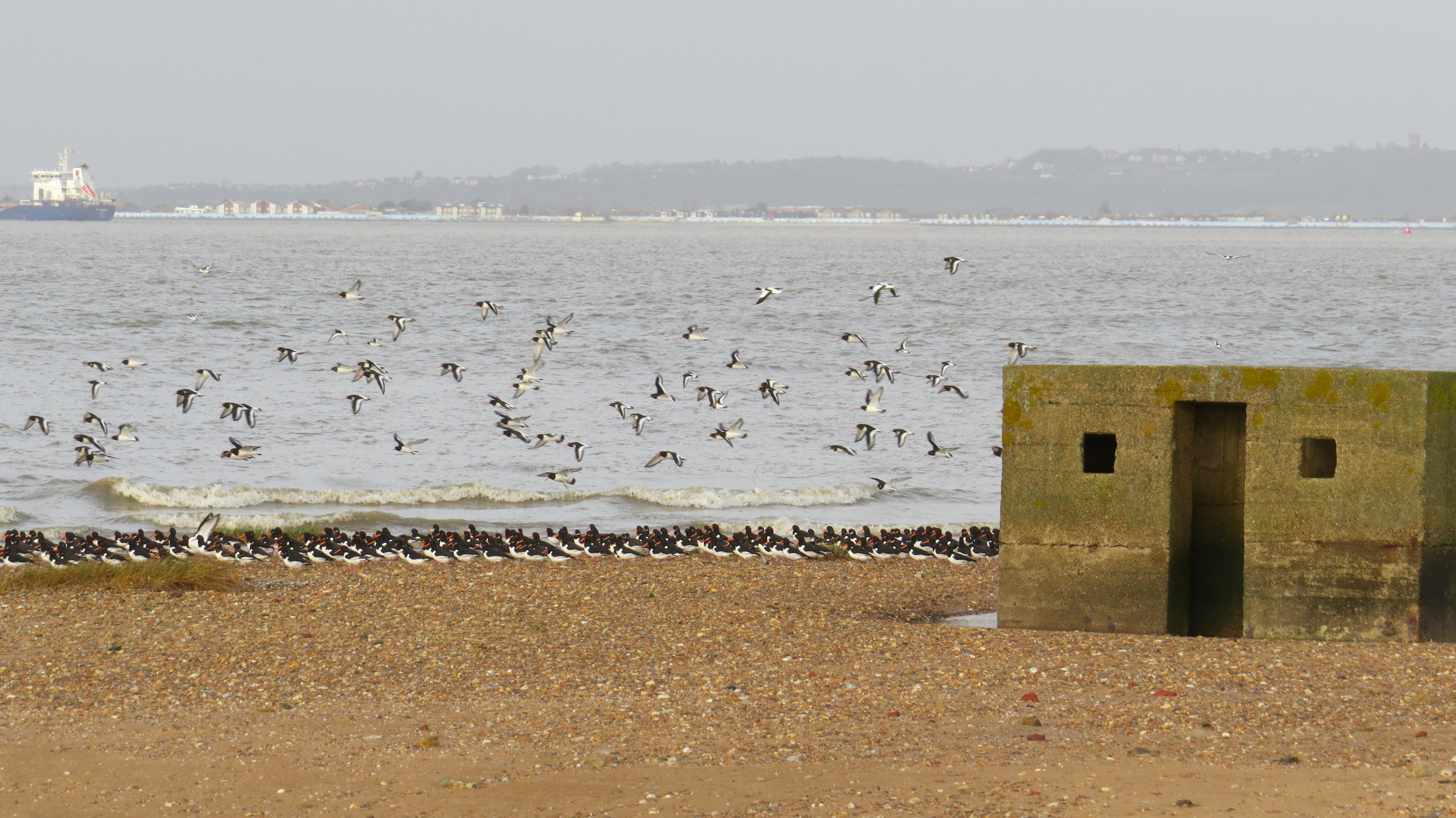 Oystercatchers and ruin