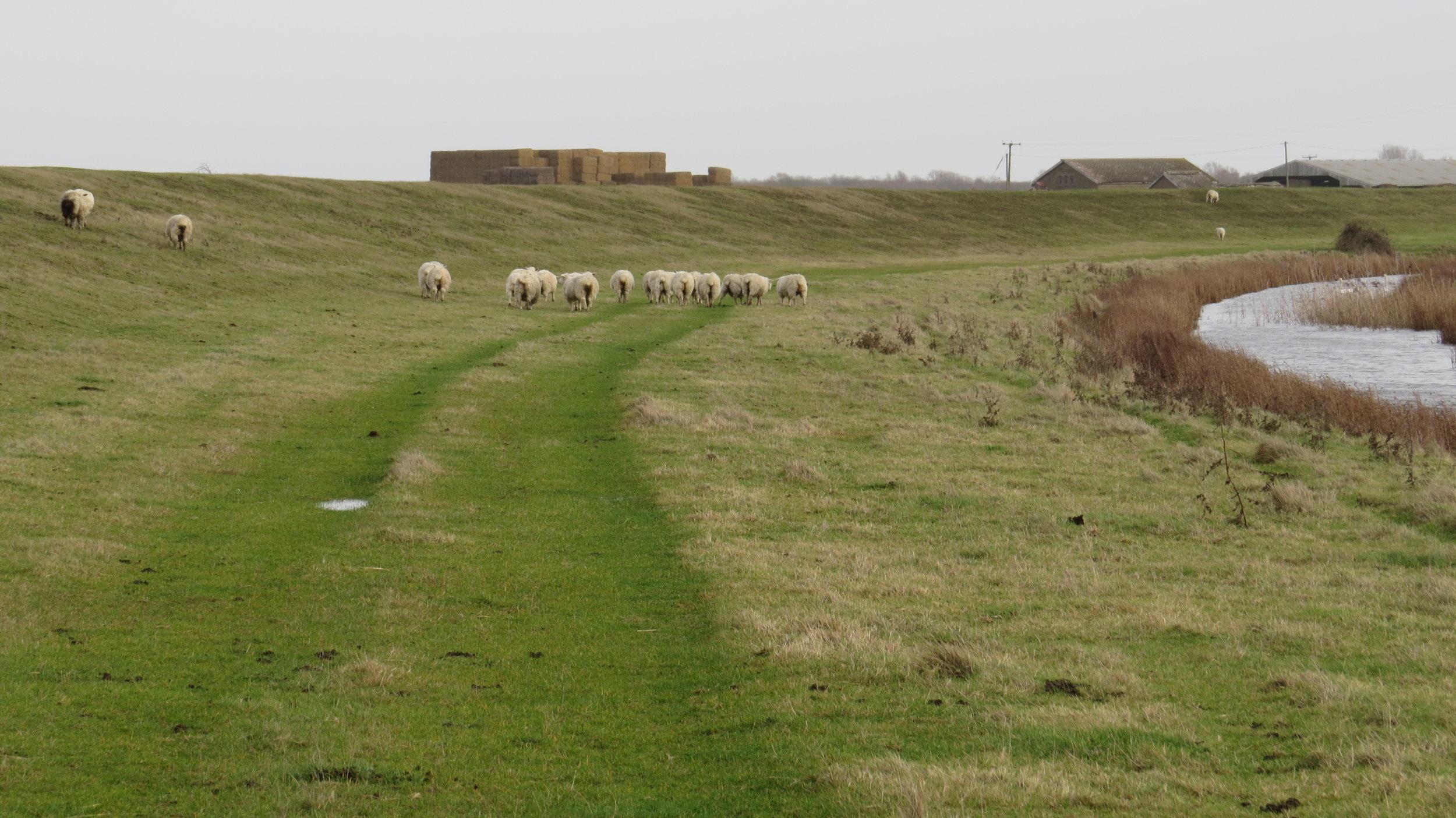 Accidentally herding sheep