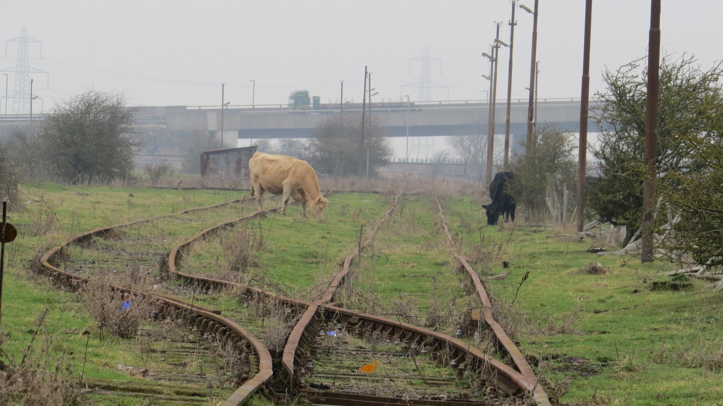 Cattle Class