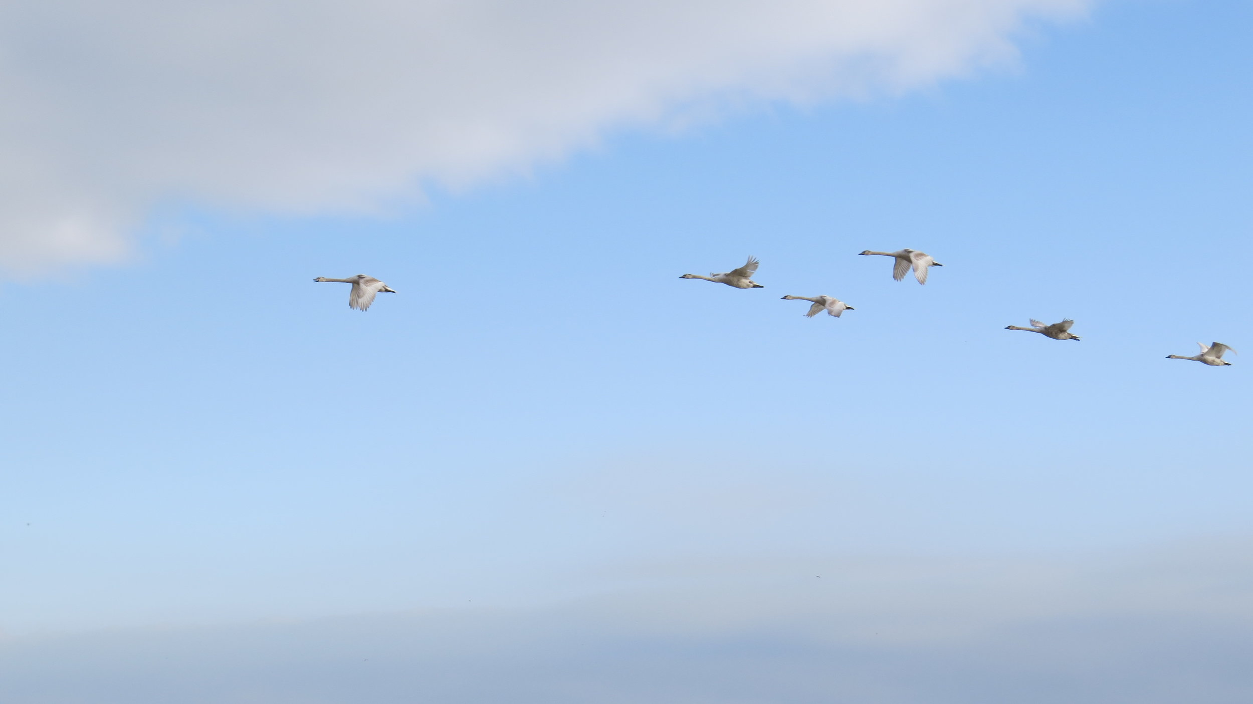 Swans over Sea
